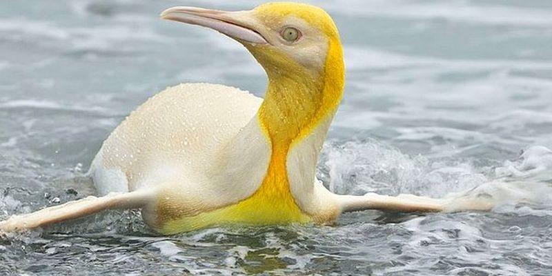 Фотограф дикой природы запечатлел ранее никогда не встречавшегося людям желтого пингвина