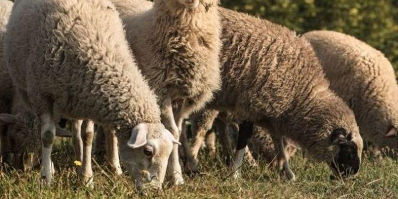 Возле Львова горела овечья ферма