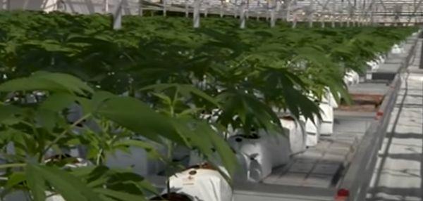 Депутаты предлагают легализовать коноплю не только в медицинских целях - Фото 1