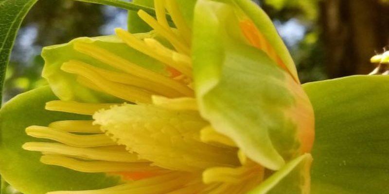 Показали, як квітне унікальне тюльпанове дерево