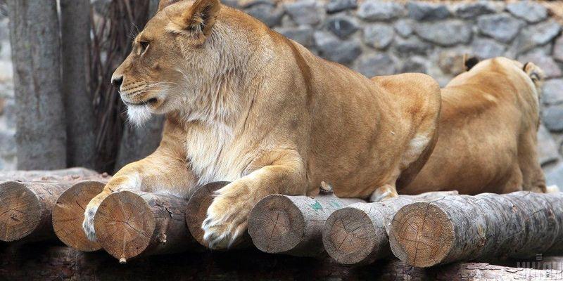 В индийском зоопарке у львов обнаружили коронавирус