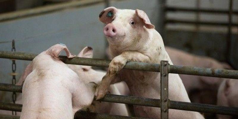 На Запоріжжі чоловік на подвір'ї в селі облаштував свиноферму із сотнями голів: сусіди не витримують смороду