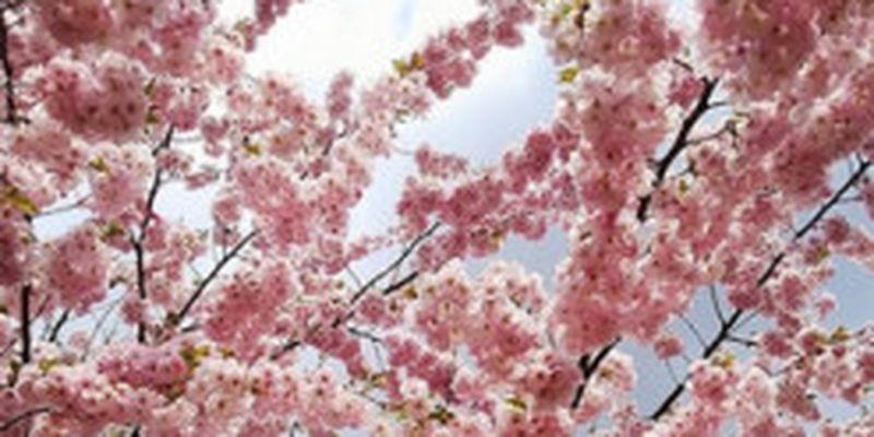 Сезон сакур у Києві: Instagram рясніє фото з квітучими деревами