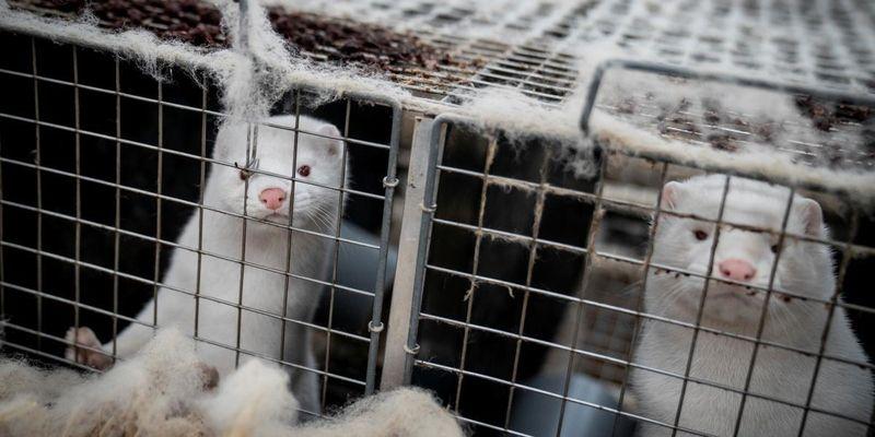 Датским фермерам заплатят почти 2 миллиарда евро за убийство норок