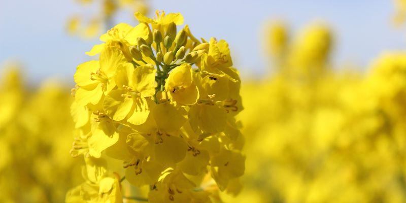 BASF: Ріпак — привабливий для інвестицій та сівозміни в агрогосподарствах