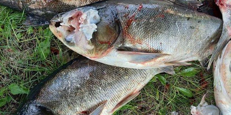 З ранами та без голів: масову загибель риби зафіксували в Запорізькій області