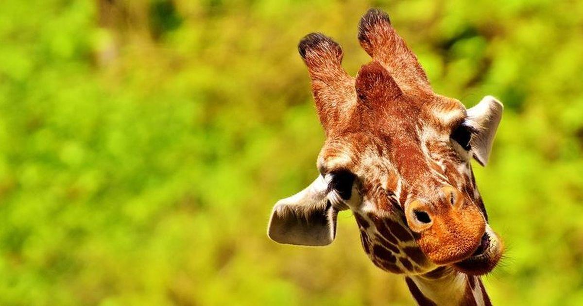 Картинки жирафов смешные, картинки султане открытки