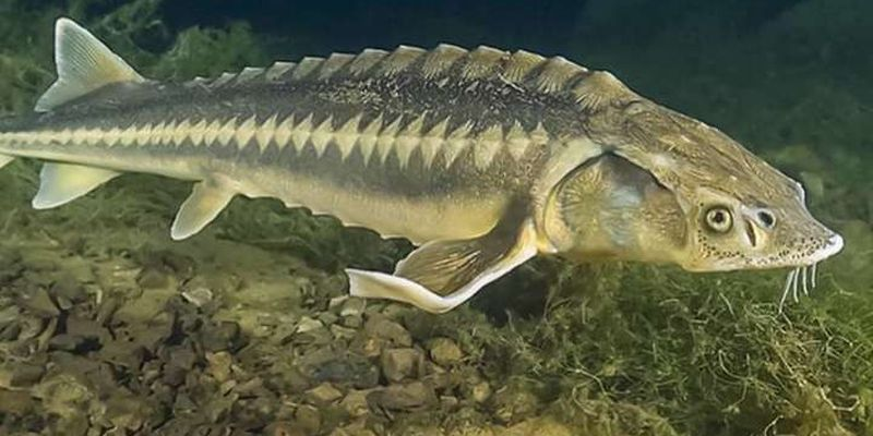 У Дніпро випустили понад мільйон червонокнижних риб