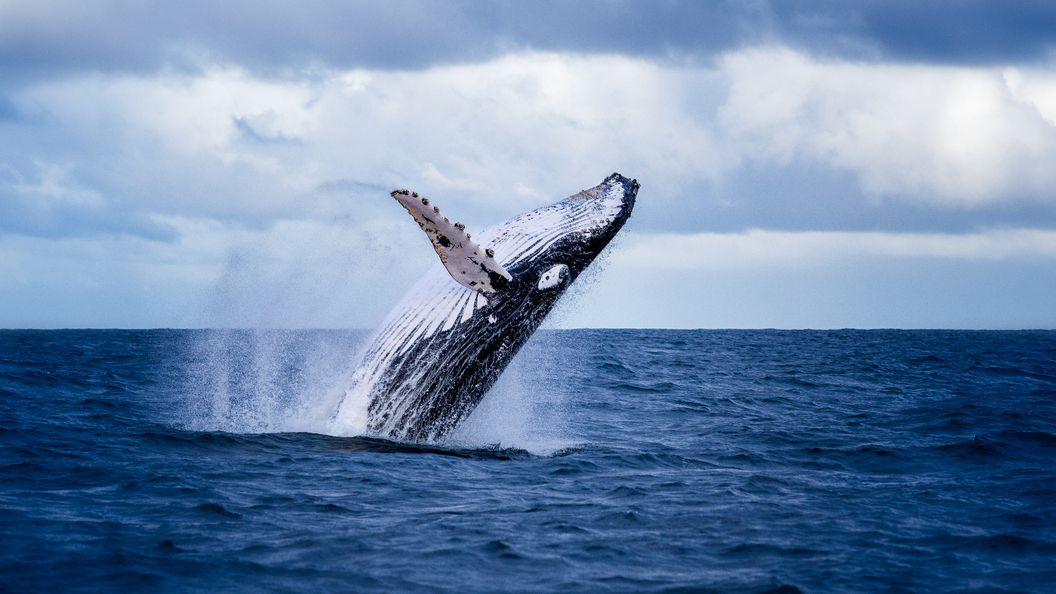 У побережья Австралии два кита выпрыгнули прямо перед лодкой туристов