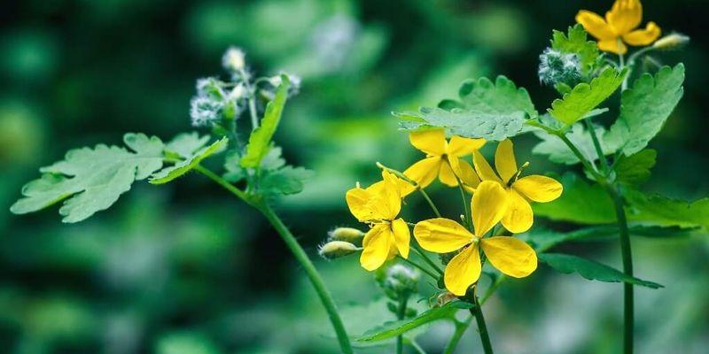 Растение, которое лечит всё!