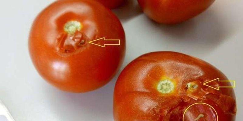 На Буковині у помідорах з Туреччини виявили небезпечного шкідника