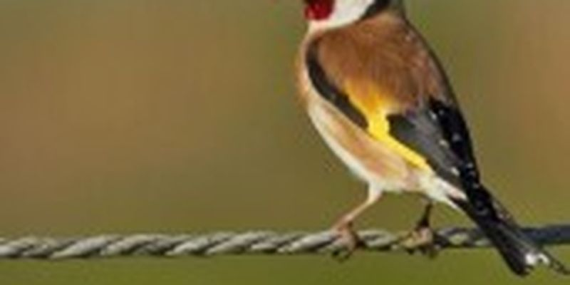 У браконьєрів вилучили понад півтори сотні щиглів, частина птахів - загинула