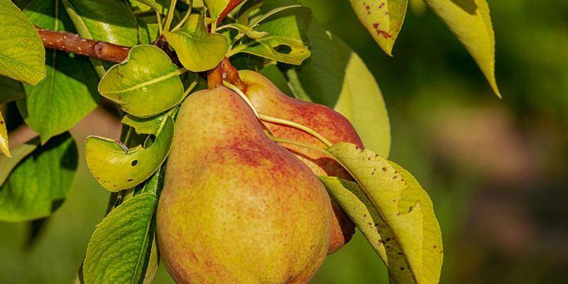 В Україні стає більше інтенсивних грушевих садів