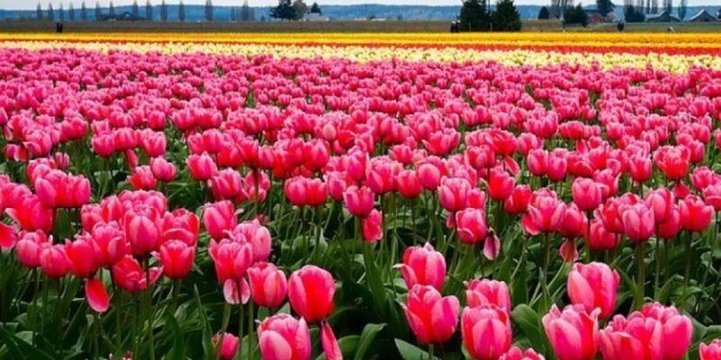 Возле Ивано-Франковска впервые расцветает тюльпанное поле
