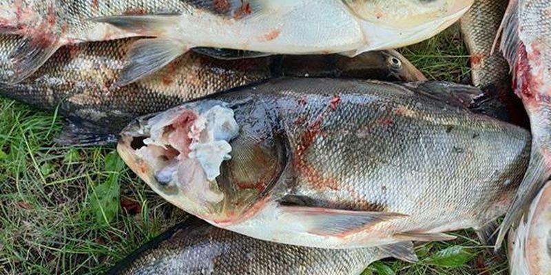 С ранами и без голов: массовую гибель рыбы зафиксировали в Запорожской области