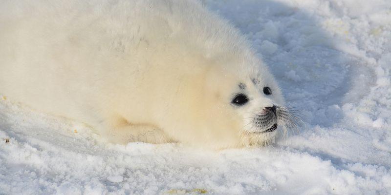 На берегу Каспия нашли десятки мертвых краснокнижных тюленей, многие были без шкур