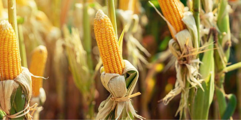 Канадські гібриди кукурудзи зміцнять присутність на ринку України