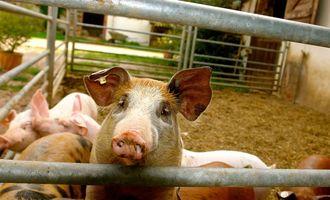 Промислове свинарство розпочинає рік із найбільшим поголів'ям за останні 4 роки