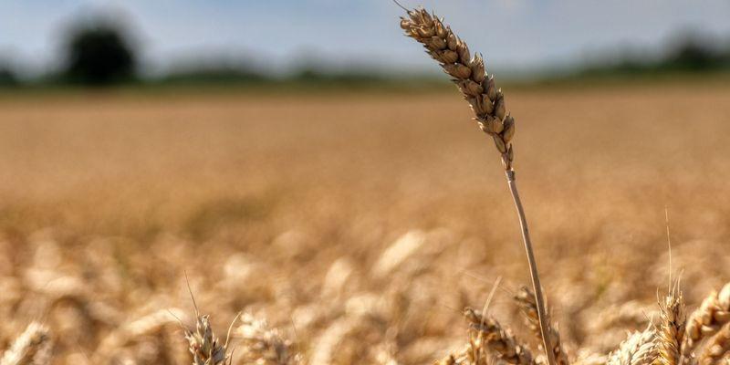 «Аграрний фонд» повертається до класичної моделі форвардних закупівель зерна
